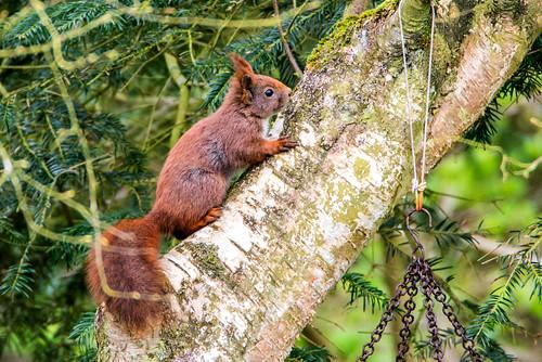 egern squirrel hurupthy northdenmarkregion denmark