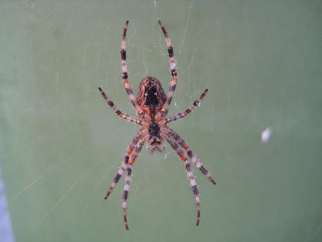 garden-spider2, Canon DIGITAL IXUS 75