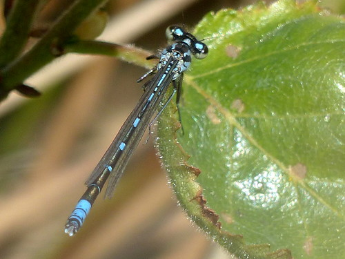 damselfly moor westerhorn breitenburgermoor azurjungfer blau blue hohenfelde