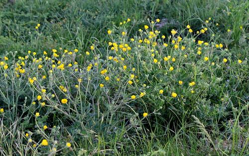 Ranunculus bulbosus - renoncule bulbeuse - Page 2 34305101365_21ffcc7ebc