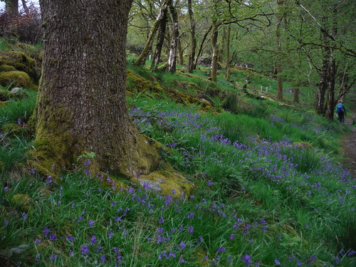 Bluebells in Abercrave Wood on Descent from Cribarth Plateau