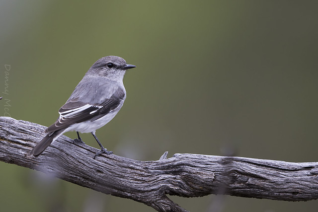 Hooded Robin female Brookfield, Canon EOS 7D MARK II, Canon EF 500mm f/4L IS II USM