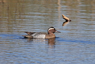 Garganey, male  (Anas querquedula)  Чирок-трескунок