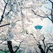 Goryokaku Sakura Hanami by Taomeister