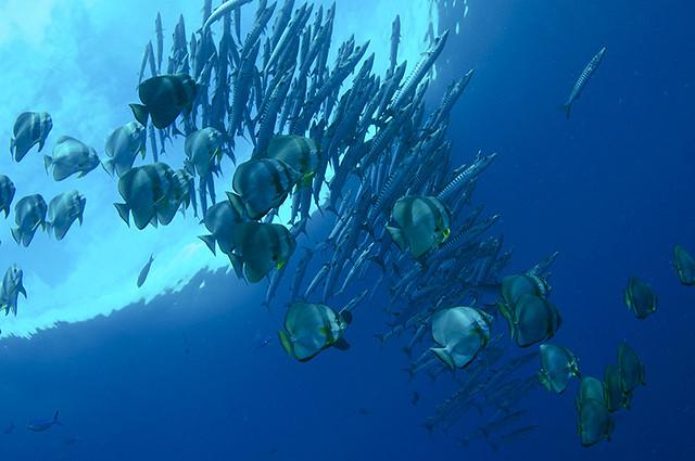 パプアニューギニアの青い海に映えるバラクーダとツバメウオの群れ