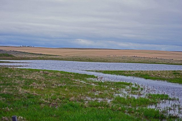 A nice looking seasonal wetland with ducks on the Bow Island transect SW of Medicine Hat.  Photo credit: Kailyn Wiebe