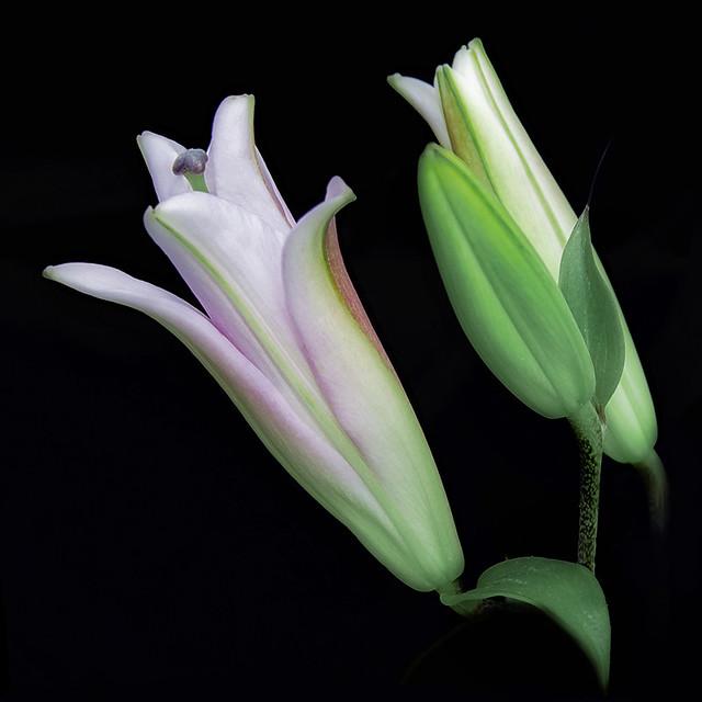 when lilies rise