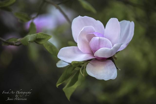 Pink magnolia - Magnolia Iolanthe
