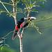Black-mandibled Toucans (Tarina Hill)