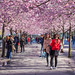 Street life under the cherry trees