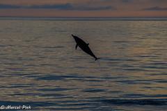 Jumping Dolphin - Galapagos