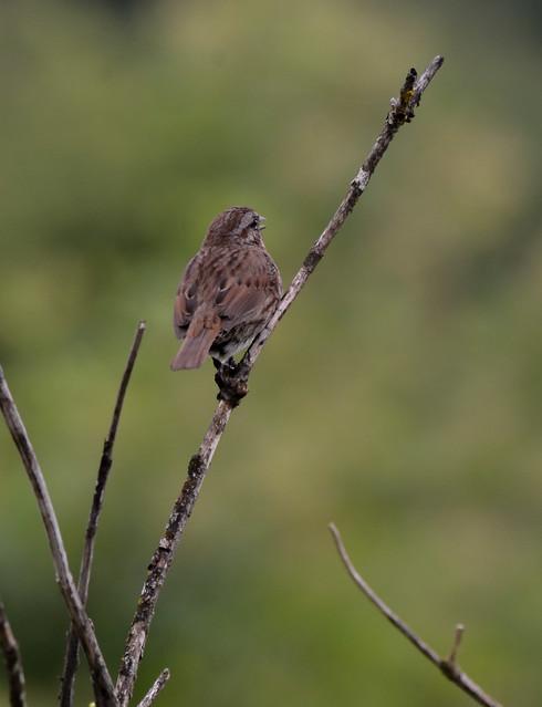 Song Sparrow, Nikon D7000, Sigma Macro 50mm F2.8 EX DG