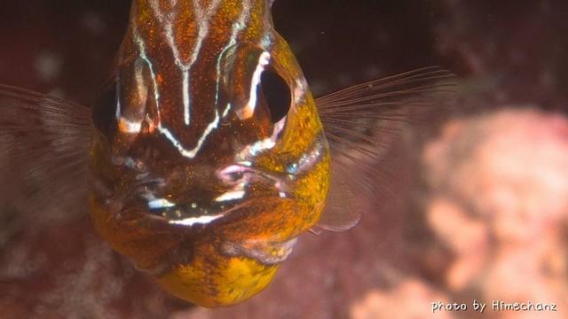 キンセンイシモチが口の中で卵育て中♪