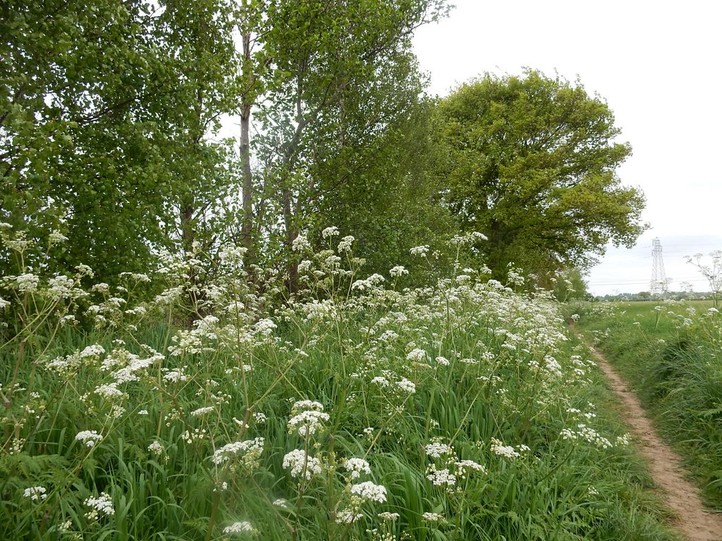 Cow Parsley Manningtree Circular