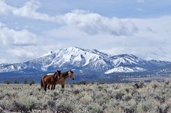 Horses at Sagehen Meadows