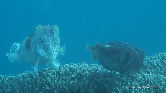 産卵中のコブシメメス(右)とオス(左)