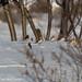 Snow Bunting (Charles McMaster)