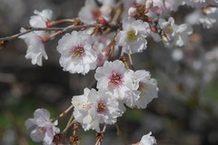 金, 2017-04-14 14:49 - New York Botanical Garden (Bronx)