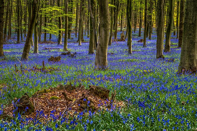 Kings Wood, Bluebells.