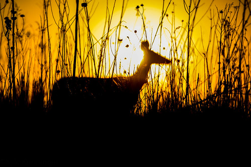 sunset sun buffalocreekforrestpreserve buffalogrove il deer animal wild nature