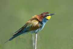 Gruccione - Bee eater by pas.sionphoto