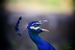 Pavões (Peacocks)