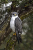 Variable Hawk -Aguilucho (Geranoaetus polyosoma) Quellón, Chiloé Island, Chile 2017
