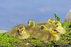 Canada Geese Goslings 17-0430-4147 by digitalmarbles