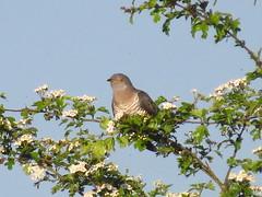 Holdercuckoo female