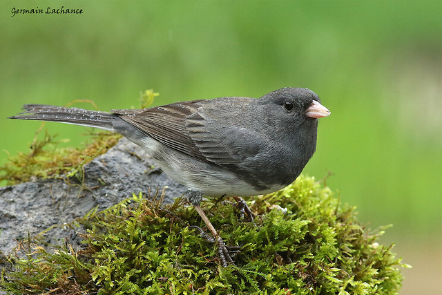 Junco ardoisé (Dark-eyed Junco), Canon EOS 7D MARK II, Canon EF 300mm f/4L IS