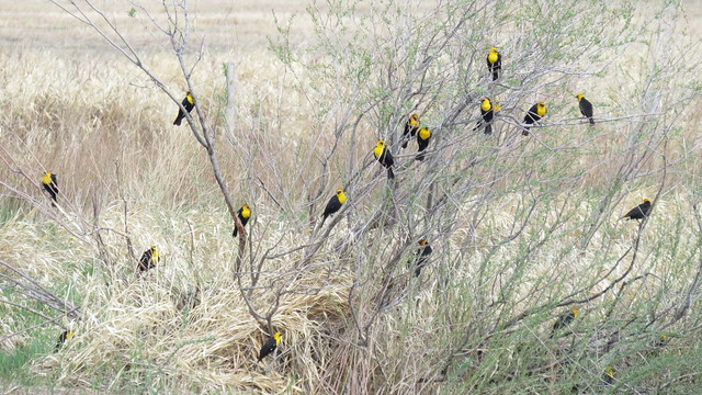 A group of Yellow-headed Blackbirds spotted along the Pakowki transect in stratum 29. Photo credit: Michelle Chupik.