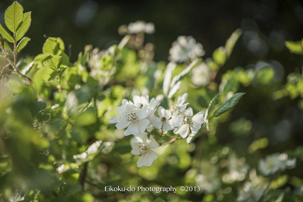 佐倉草ぶえの丘ローズフェスティバル2017