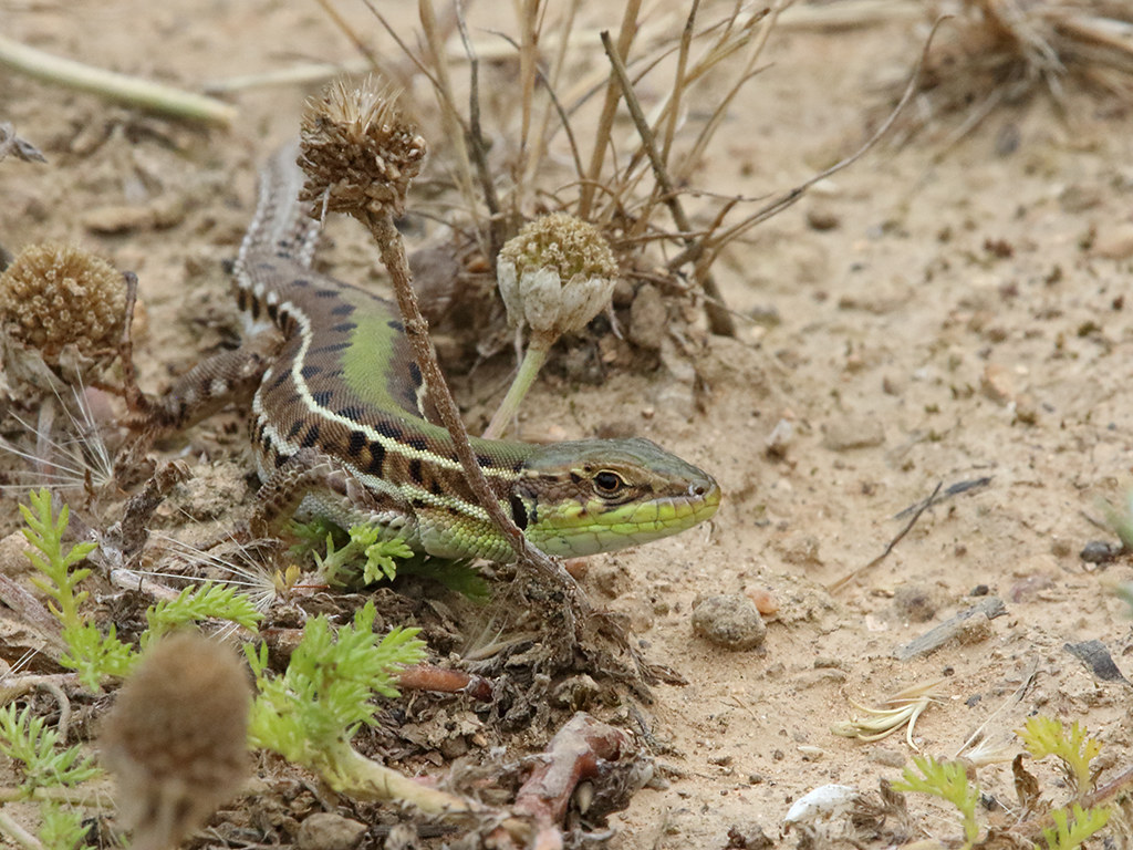 Balkan Green Lizard Lacerta trilineata