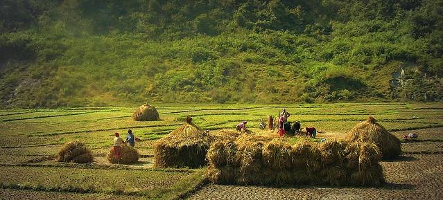 NEPAL, Auf dem Weg nach Pokhara, Bauern bei der Ernte (serie ) , 16049/8308