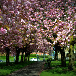 Cherry Tree Blossom in Preston