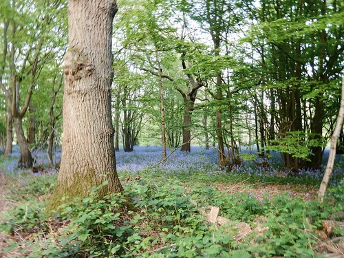 Bluebells with tree
