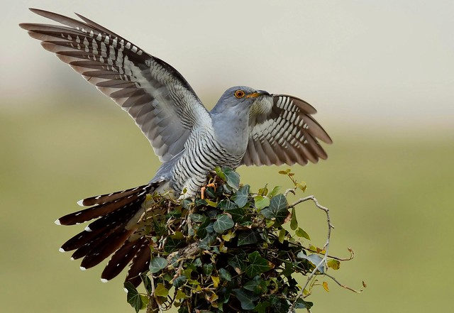 Cuckoo ( male )