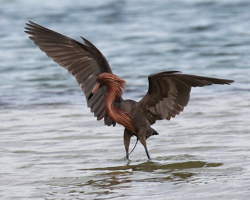 shore bird fishing nature red egret wings up florida pinellas county heron water wildlife reddish