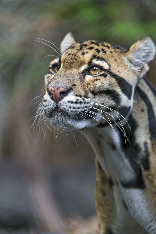 Clouded leopard again