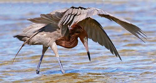 bird florida nature pinellas county heron water wildlife red redish fishing