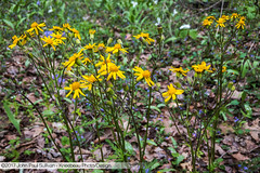 Golden Ragwort growing in Strouds Run State Park in Athens Ohio