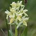 Elder Flower (Judith Rolfe)