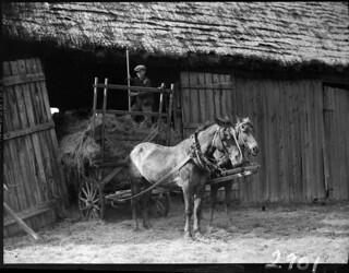 Boy with a pitchfork on a haymow on a horse-drawn cart, Quebec / Garçon muni d'une fourche dans un tas de foin, sur une charrette tirée par des chevaux, Québec