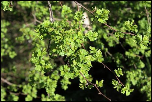 Crataegus laevigata (= C. oxyacantha) - aubépine à deux styles 34294837441_63081c65c2