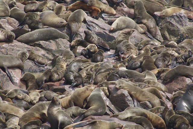 Brown fur seal, Cape Cross