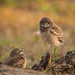 Burrowing Owlets by MDanielsonPhoto