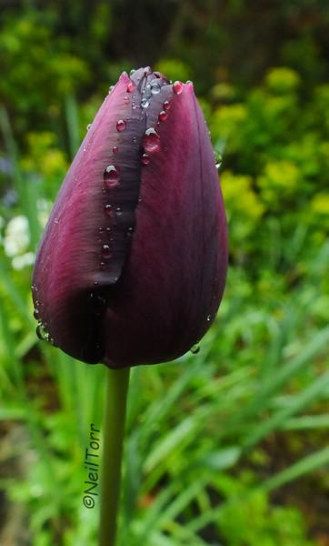Tulip dew drops