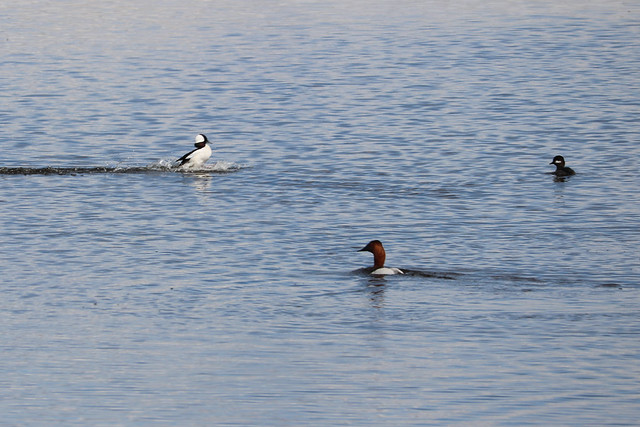 A pair of bufflehead and a drake canvasback on the Coronation air-ground transect. Photo credit: Elizabeth Beck
