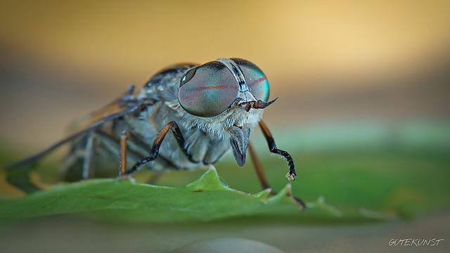 Di, 2013-07-16 21:50 - pale giant horse-fly Rinderbremse (Tabanus bovinus). Focus stack aus 11 Fotos. Freihand, lebend. Sony a57.  Vorsicht Bremse! Hier seht ihr eine Rinderbremse (Tabanus bovinus) sieht etwas anders aus als die Regenbremse, doch faszinierend sind auch hier die AUGEN