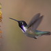 Costa's Hummingbird (Dave Brotton)